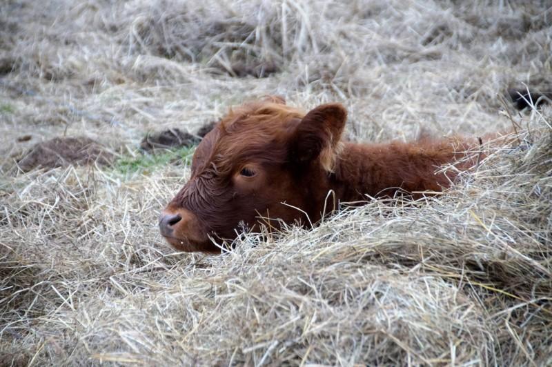 metáfora de la vaca para conseguir objetivos
